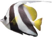 Butterfly Fish In Maui