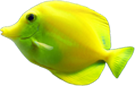 Maui Yellow Coral Reef Fish 1