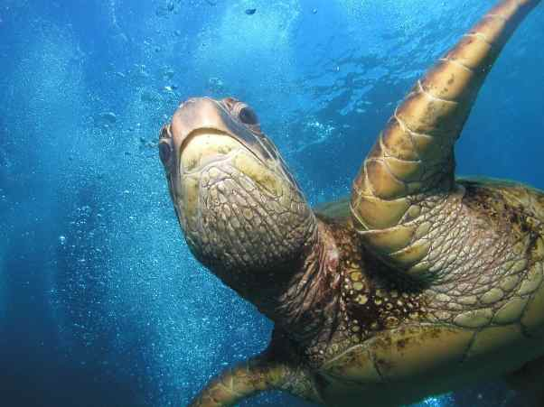 Scuba Dive With Turtles On Maui
