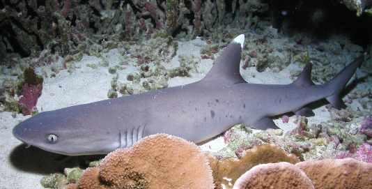 Shark Dive Maui Lahaina