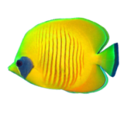 Yellow Butterfly Fish In Maui