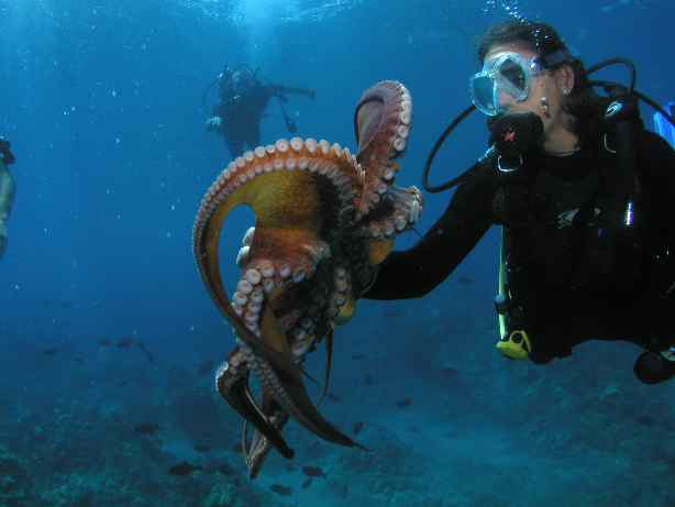 Scuba Diver Holding Octopus In Lahaina Maui