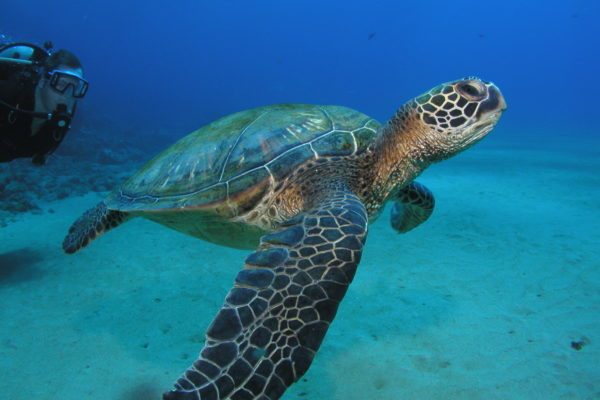 Turtle Dive in Maui